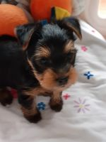 Yorkshire Terrier Puppies for sale in Morgantown, IN 46160, USA. price: NA