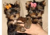Yorkshire Terrier Puppies for sale in 300 N Los Angeles St, Los Angeles, CA 90012, USA. price: NA