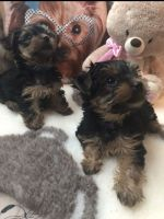Yorkshire Terrier Puppies for sale in San Francisco, CA, USA. price: NA