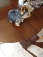 Yorkshire Terrier Puppies for sale in Rapid City, SD 57701, USA. price: NA