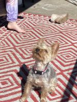 Yorkshire Terrier Puppies for sale in Philadelphia, PA, USA. price: NA