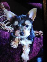 Yorkshire Terrier Puppies for sale in Tyler, TX, USA. price: NA