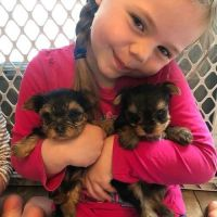 Yorkshire Terrier Puppies for sale in Mattoon, IL 61938, USA. price: NA