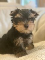 Yorkshire Terrier Puppies for sale in Decatur, GA 30030, USA. price: NA