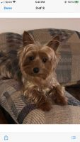 Yorkshire Terrier Puppies for sale in McDonough, GA, USA. price: NA