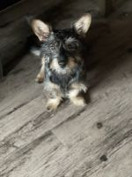 Yorkshire Terrier Puppies for sale in Norman, OK, USA. price: NA