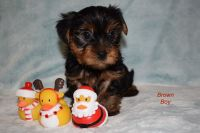 Yorkshire Terrier Puppies for sale in Chicago Riverwalk, Chicago, IL, USA. price: NA