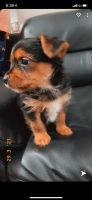 Yorkshire Terrier Puppies for sale in Essex, MD 21221, USA. price: NA
