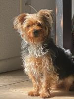 Yorkshire Terrier Puppies for sale in Humble, TX 77396, USA. price: NA