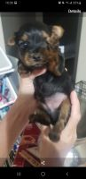 Yorkshire Terrier Puppies for sale in Temple, TX, USA. price: NA