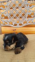 Yorkshire Terrier Puppies for sale in 4856 E 100 S, Monroe, IN 46772, USA. price: NA