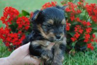 Yorkshire Terrier Puppies for sale in Lovelady, TX 75851, USA. price: NA