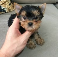 Yorkshire Terrier Puppies for sale in Washington, D.C., DC, USA. price: NA