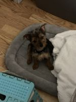 Yorkshire Terrier Puppies for sale in Farmingdale, NY 11735, USA. price: NA
