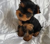 Yorkshire Terrier Puppies for sale in Los Angeles, CA 90001, USA. price: NA