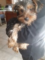 Yorkshire Terrier Puppies for sale in Manteca, CA, USA. price: NA