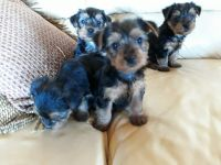 Yorkshire Terrier Puppies for sale in Salem, MO 65560, USA. price: NA