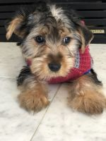 Yorkshire Terrier Puppies for sale in Roseville, MI 48066, USA. price: NA
