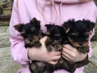Yorkshire Terrier Puppies for sale in Santa Clara Police Station, 601 El Camino Real, Santa Clara, CA 95050, USA. price: NA