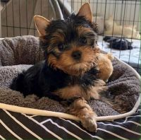 Yorkshire Terrier Puppies for sale in Fort Worth, TX, USA. price: NA