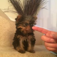 Yorkshire Terrier Puppies for sale in Washington, MI 48094, USA. price: NA