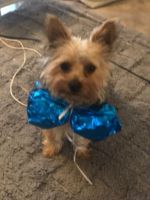 Yorkshire Terrier Puppies for sale in Newark, DE, USA. price: NA