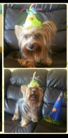 Yorkshire Terrier Puppies for sale in Fort Lauderdale, FL, USA. price: NA