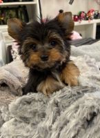 Yorkshire Terrier Puppies for sale in Albuquerque, NM, USA. price: NA