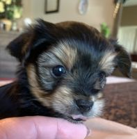 Yorkshire Terrier Puppies for sale in Menifee, CA 92584, USA. price: NA