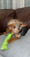 Yorkshire Terrier Puppies for sale in Springfield, OH, USA. price: NA