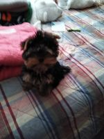 Yorkshire Terrier Puppies for sale in Idaho Falls, ID, USA. price: NA