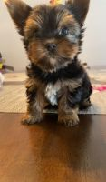 Yorkshire Terrier Puppies for sale in Arlington, TX, USA. price: NA