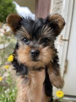 Yorkshire Terrier Puppies for sale in Burbank, CA, USA. price: NA