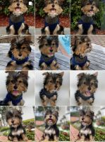 Yorkshire Terrier Puppies for sale in Sunrise, FL, USA. price: NA