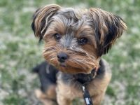 Yorkshire Terrier Puppies for sale in Iowa City, IA 52241, USA. price: NA