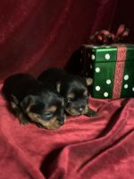 Yorkshire Terrier Puppies for sale in New Orleans, LA, USA. price: NA