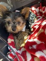 Yorkshire Terrier Puppies for sale in Canal Winchester, OH, USA. price: NA