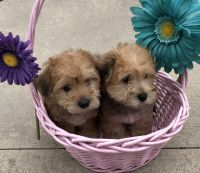 Yorkshire Terrier Puppies for sale in 255 Greenwich St, New York, NY 10007, USA. price: NA