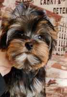 Yorkshire Terrier Puppies for sale in Bronxville, NY, USA. price: NA