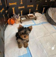 Yorkshire Terrier Puppies for sale in New York New York Casino, 3790 S Las Vegas Blvd, Las Vegas, NV 89109, USA. price: NA