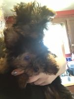Yorkshire Terrier Puppies for sale in Arcola, IL 61910, USA. price: NA