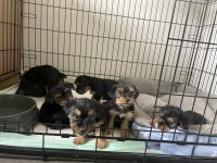 Yorkshire Terrier Puppies for sale in Covington, GA, USA. price: NA