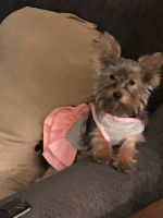 Yorkshire Terrier Puppies for sale in Woodbridge, VA 22191, USA. price: NA