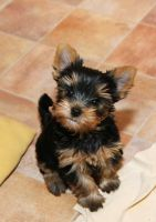 Yorkshire Terrier Puppies for sale in Chicago, IL, USA. price: NA