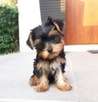 Yorkshire Terrier Puppies for sale in 49503 Jackson Ln, Canton, MI 48188, USA. price: NA