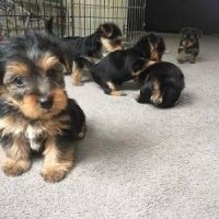 Yorkshire Terrier Puppies for sale in CA-99, Los Molinos, CA, USA. price: NA
