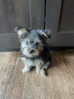 Yorkshire Terrier Puppies for sale in Denver, CO 80247, USA. price: NA