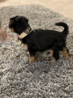 Yorkshire Terrier Puppies for sale in Smyrna, GA, USA. price: NA