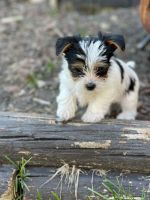 Yorkshire Terrier Puppies for sale in Lake Villa, IL, USA. price: NA