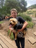 Yorkshire Terrier Puppies for sale in Ramona, CA 92065, USA. price: NA